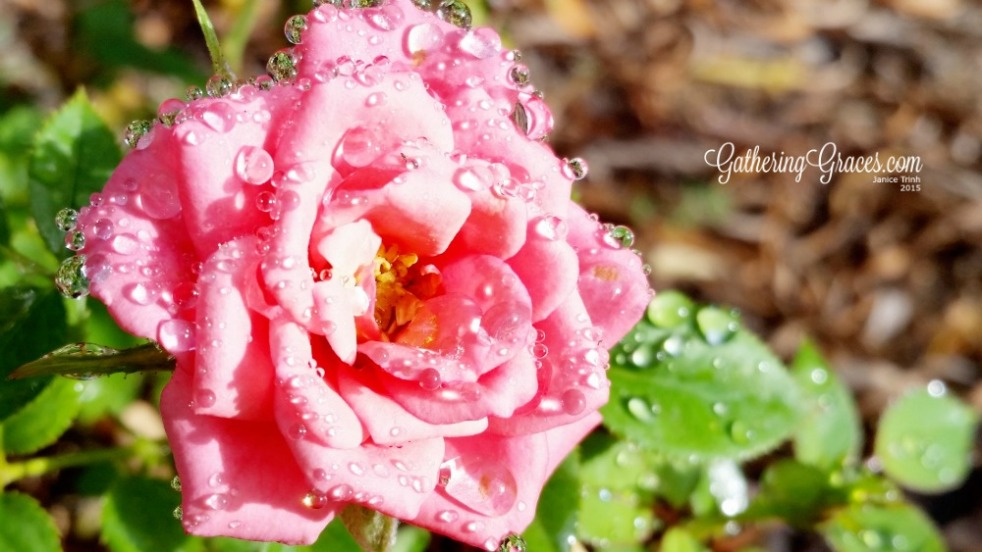rose water drops dew