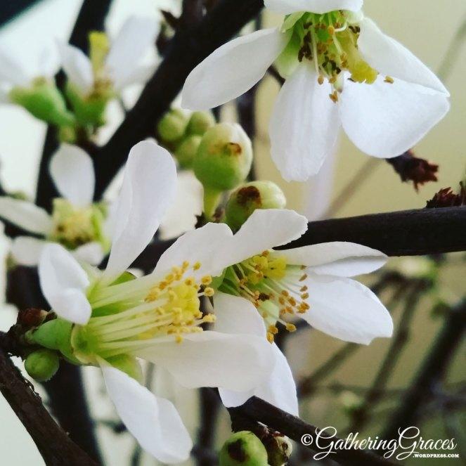 tet apricot cherry blossoms